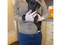 Springer x border terrier boy puppy