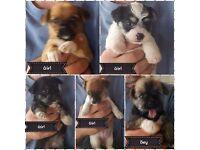 Bichon cross jackuahua puppies £250 ready on the 16th July