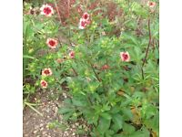 Plants Flowers Perennials for the garden 75p