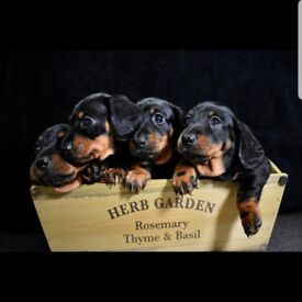Black and Tan min smooth Dachshunds