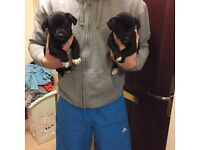 Black and white jack russ puppies