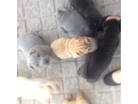 Lovely shar pei puppies for sale £800 £700 feel free to contact me no time wasters
