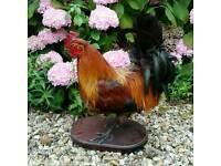 Vintage taxidermy cockerel