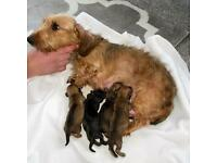 4 Gorgeous Wire Haired Dachshund Puppies PRA CLEAR