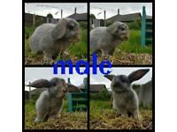5 mini lop babies