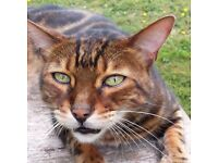 11yr old Marble Bengal missing since 5/9/2016 from Braishfield, Romsey. He is neutered/microchipped