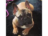 Fawn French Bulldog Pedigree Male KC Reg