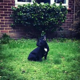 French Bulldog girl for sale! 🐾