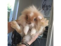 Lion head lops looking for a good home