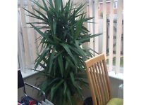 Yucca- NOW REDUCED from £60 to £40