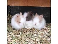 Double Maned Lionhead Buck Bunnies/Rabbits