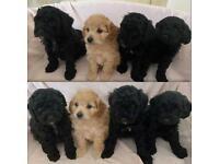 4 Cockapoo puppies