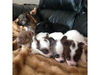 Chihuahua pups good pedigree