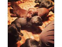 Price Drop Gorgeous Labrador Puppie's for Sale!