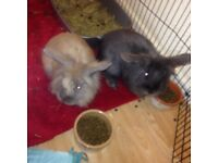 selling 2 male rabbits
