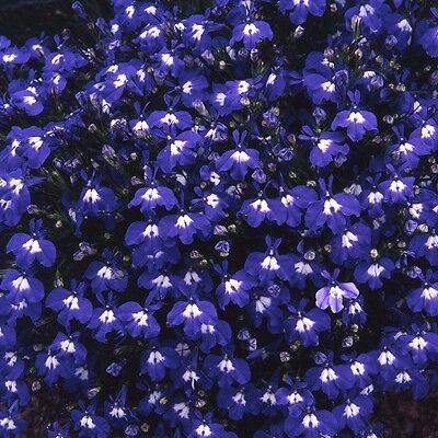 LOBELIA - TRAILING - SAPPHIRE - 0.4 GRAM ~ APPROX 12,000 FLOWER SEEDS