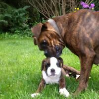 Pure Bred Boxer Puppies