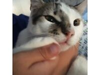 1 YEAR OLD FEMALE CAT TO GOOD HOME £50