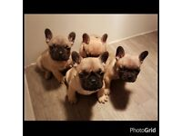 Quality french bulldog dog pups pup puppy dog