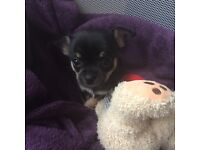 Stunning little Chihuahua boy for sale!!