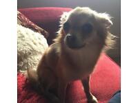 Hazel the Chihuahua