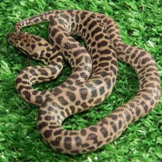 Childrens Python Hatchlings