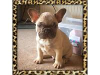 Chocolate sable French bulldog male