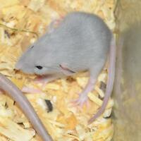 Rat régulier, bleu, nu, Siamois / Regular, Blue, Hairless rats