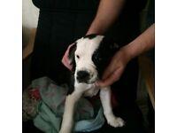9 week old puppy