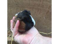 Beautiful baby guinea pigs