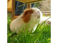 Guinea pig girls looking for a new home.