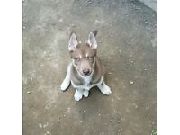 beautiful bi-eyed male husky for sale