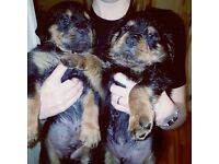Rottweiler chunky puppies £600