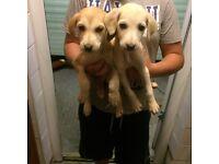 Collie x huskey puppies