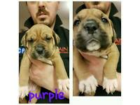 Mastiff cross great dane puppies
