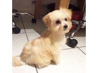 Maltese X Pomeranian girl puppy (Maltipom)