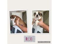 English Kc bulldog puppies