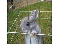 Baby Purebred Netherland Dwarf Rabbit - Female. Very Friendly and cuddly