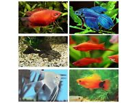 x10 Tropical Fish Bundle ( Platies, Swordtails, Gouramis, Betta Fighter, Shark, Pleco, Angelfish)