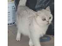 British short hair cat TICA registered, plus kittens for sale