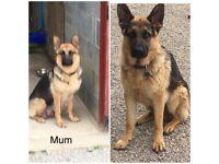 German Shepherd Puppies for Sals