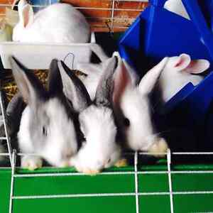 Beautiful Rabbits Condell Park Bankstown Area Preview