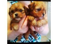 Shorkie pups for sale