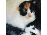 Tortishell kitten