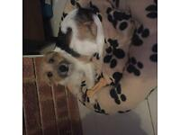 jack russell terrier 8 mths full vaccination