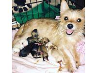Beautiful chorkies puppies