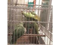 Indian Ringneck Parrot for sale