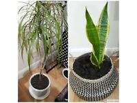 Dracaena trifasciata & Madagascar Dragon Tree