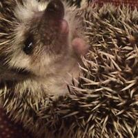 Hedgehog for sale - everything included