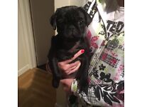 KC REG Pure black female pug puppy